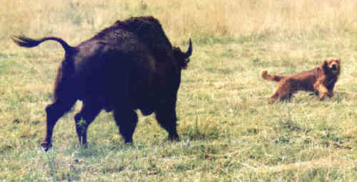 how to build a bison fence